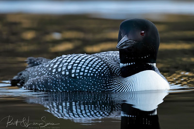Common Loon Portrait at Sunrise