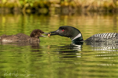 Adult Common Loon Feeds Its Young a Crayfish