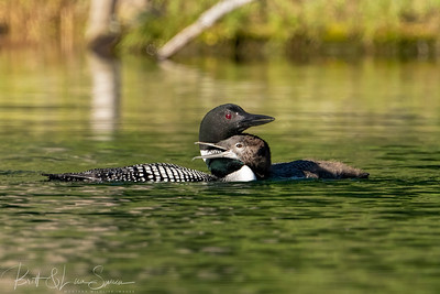 Loon Affection?
