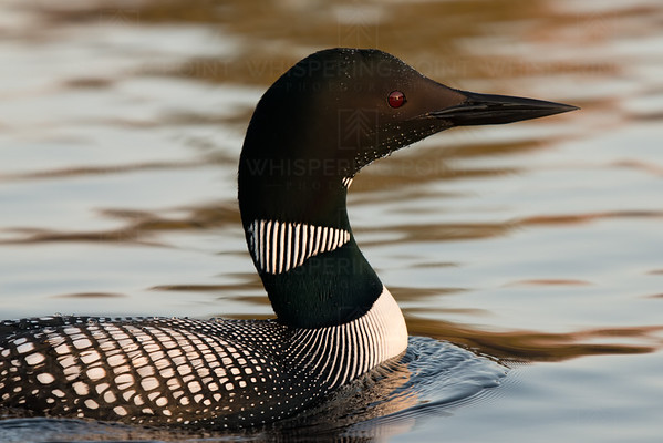 First Light Loon (147)