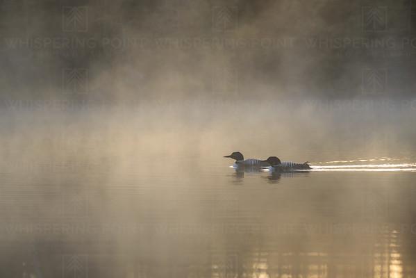 Loon Pair in Fog (115)