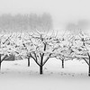 Snow Falling on Lopez Orchard