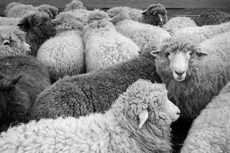 Reeve's Romneys Penned for Shearing