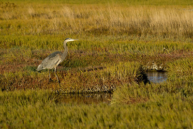 Great Blue Heron- Salt Marsh II