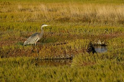 Great Blue Heron- Salt Marsh II