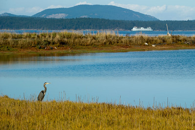 Great Blue Heron- End of the Bay