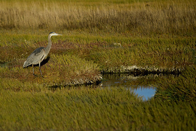 Great Blue Heron- Salt Marsh I  With the sun low and nearly down, a great blue heron takes advantage of high tide to fish in a salt water marsh