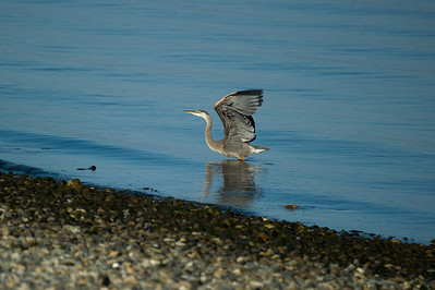 """Great Blue Heron Takes Flight.   Adjusting the shutter for """"quiet"""" mode, I stayed absolutely still in the tall grass as it waded, S-L-O-W-L-Y moving down the beach. My patience soon to be rewarded with a crystal clear close-up in perfect light.... when a truck went roaring by. Another day, perhaps."""