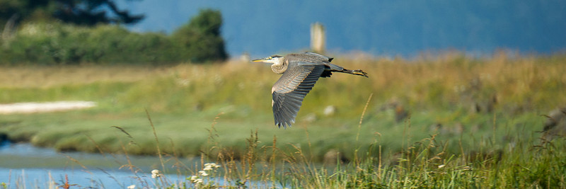 Great blue heron 12 x 36