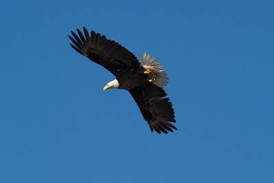 Bald Eagle Over Bayshore Drive
