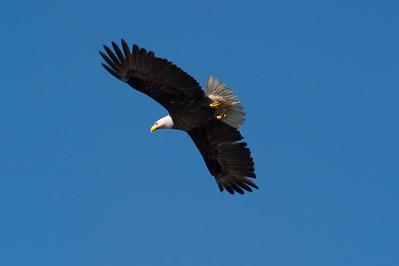 Bald Eagle Over Bayshore Drive