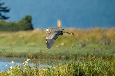A great blue heron flies into Fisherman Bay.