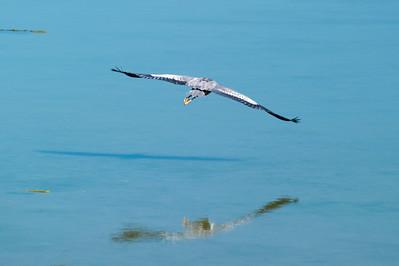 Great Blue Heron Landing in Fisherman Bay