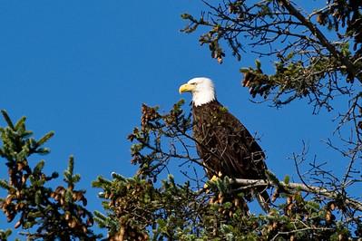Bald Eagle Perched Above Bayshore Drive