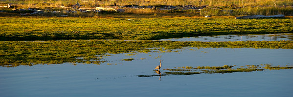 Great Blue Heron in the Preserve I 12x36 Panorama