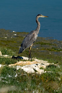 Heron on high Ground