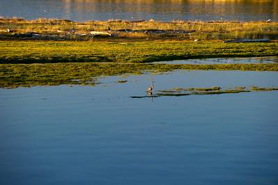 Great Blue Heron in Fisherman Bay