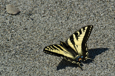 Swallowtail Butterfly on Flat Point.