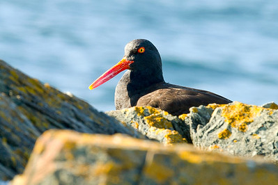 A black oystercatcher resting on a warm rock at the eastern end of Iceberg Point.