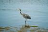 Great Blue Heron on Mud Flats