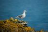Herring Gull on Iceberg Pt. ll
