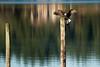 Bald Eagle in Fisherman Bay