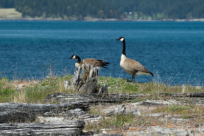 Nesting Canadian Geese Pair