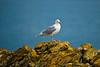 Herring Gull on Iceberg Pt. lll