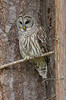 Barred owl watching a rabbit den.