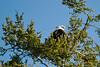 Bald eagle pair near Chadwick Hill. Still need that L-O-N-G-E-R lens!