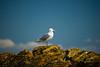 Herring Gull on Iceberg Pt. l