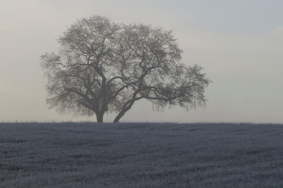 A bare trees stands tall over a field covered in frost from sub-freezing temps.