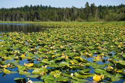 Hummel Lake Lilies