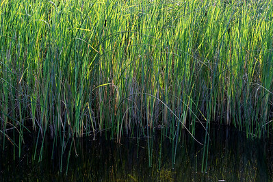 Cattails in Hummel Lake