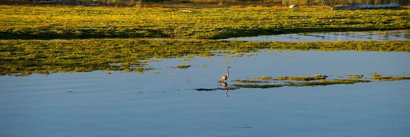 Great Blue Heron Wades in Fisherman Bay Preserve