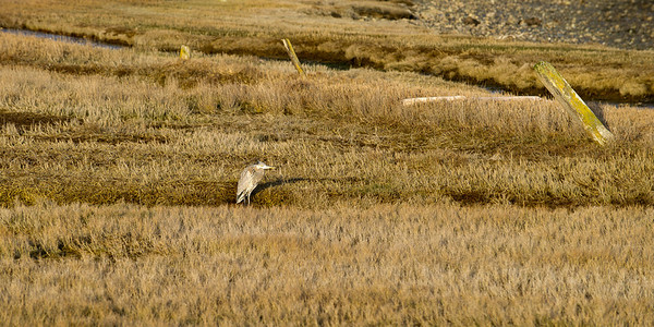 Great Blue Heron on Fisherman Bay: The Tombolo, minutes before sundown