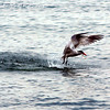 Your Tern To Catch Dinner