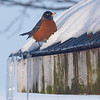 Afternoon Snack by Lora Mosier<br /> <br /> The robins usually return to us sometime in March, being our marker that spring is near.  I think this guy is an overachiever or perhaps an optimist, coming back in early February.