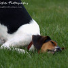 Downward Dog by Lora Mosier<br /> <br /> As relaxed as he looks, I'm almost inclined to try yoga....or rub my face in the grass.