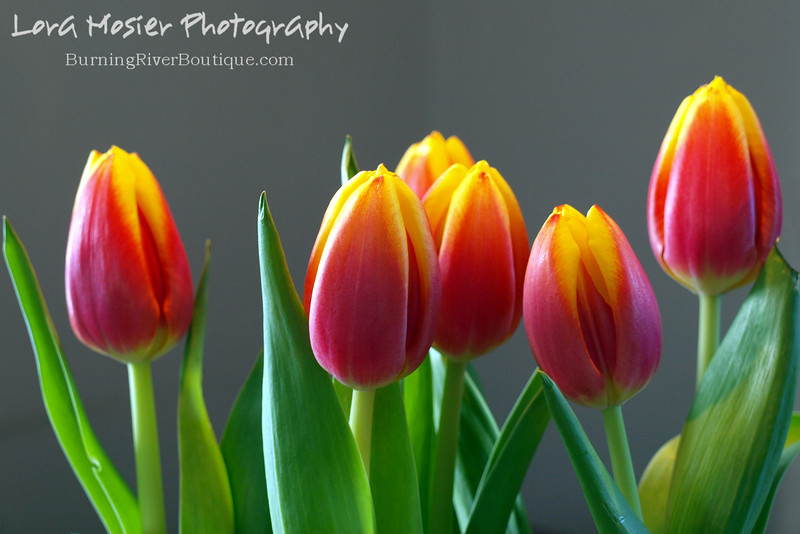 "Tulips, by Lora Mosier<br /> <br /> At the time of this post, we're in the middle of winter, it's cold beyond belief, snowing, and the wind is crazy, but the tulips in my flower garden are up about 3"" and ready for Spring. (these aren't those)"