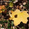 Only The Shadow Knows by Lora Mosier<br /> <br /> This yellow leaf standing apart from the green of the ivy along the edge of the driveway caught my eye, but as I got close, I noticed the shadow on it from the leaf above.  That's when I went inside to get the camera.