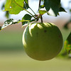 An Apple A Day by Lora Mosier<br /> <br /> It's been said that an apple a day keeps the doctor away, but I'm pretty sure that if you ate a green apple every day, that would be a sure way of not keeping the doctor away (unless, of course it's a Granny Smith apple).