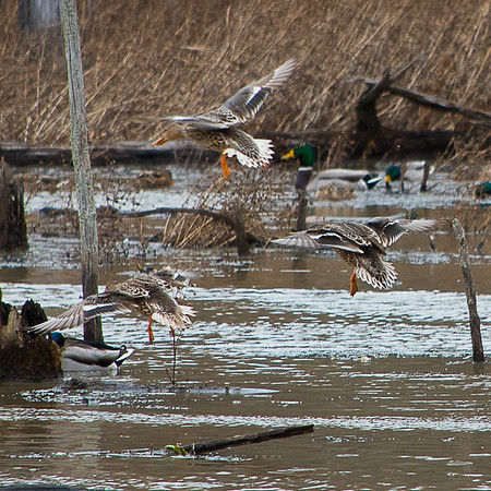 Wood Duck Drop In