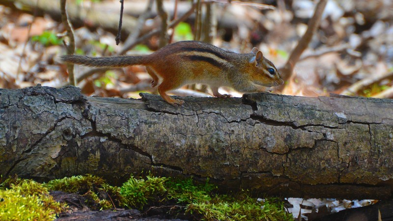 Traveling Chipmunk
