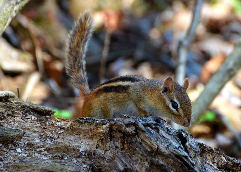 Chipmunk Hunt