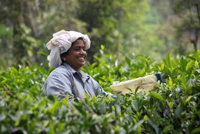 Tea Picker Kerala