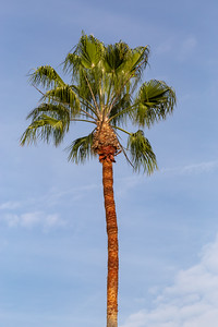 Fan palm on Los Angeles Street, blue sky, abstract, background,