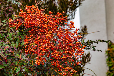 Orange berries on LA street.