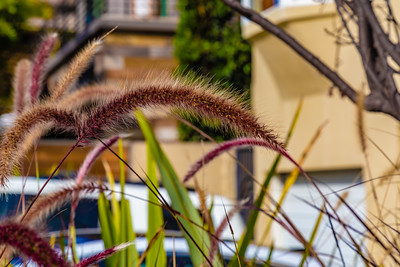 Brown ornamental grass for decoration or background