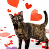 Cami has been at the shelter since 11/14, way too long! Let's get this cat a home!   Female, tortie Domestic Shorthair. About 5 years old. For more info about this cat, call PHS at 626-792-7151 & ask for info about animal ID #A368186